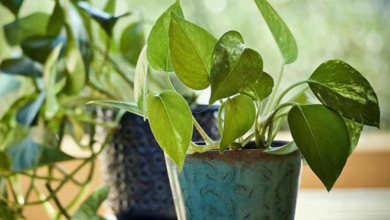 The paan plant online store and betel plants